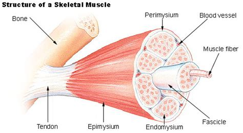 Human Physiology - Muscle
