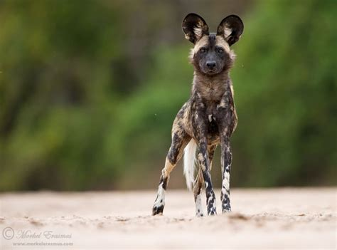 Picture of the Day: The African Wild Dog «TwistedSifter