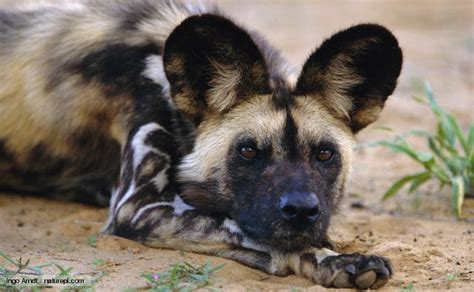 African Wild Dog Facts - All About The African Wild Dog